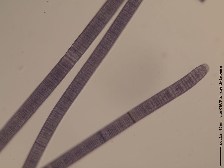 Oscillatoria princeps - N16   the CAUP image database